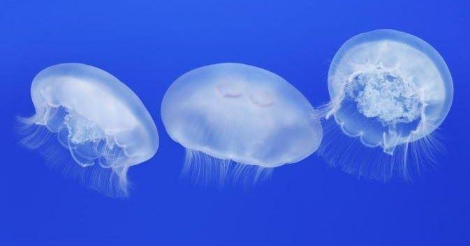 #HeyUnik  [WOW] Ilmuwan Temukan Ubur-ubur yang Tak Dapat Mati #Alam #Hewan #Unik #YangUnikEmangAsyik