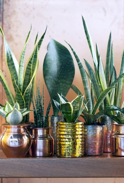 Sansevieria ~ Mother-in-law's tongue