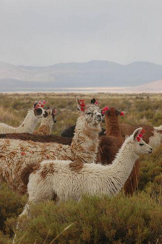 Llamas, Puna grasslands, Salta region, northern Argentina