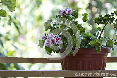 Pink with white potted flower on a wooden terrace