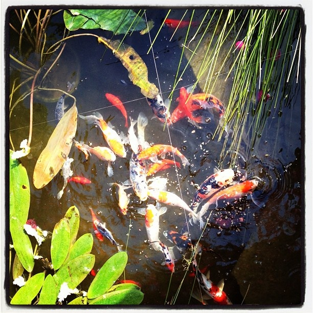 47 best images about so koi on pinterest japanese koi for Koi fish varieties