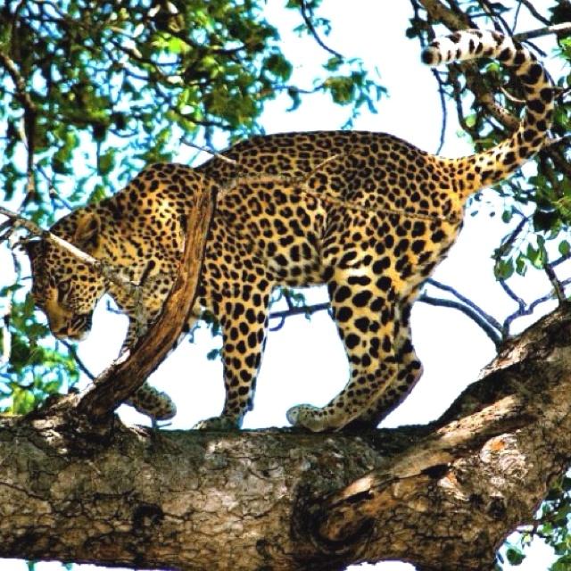 Leopard- Kruger, South Africa