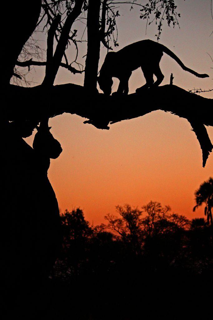 Leopard silhouette, Okovango Delta, Botswana | http://underonebotswanasky.com/camps/moremi-crossing.php