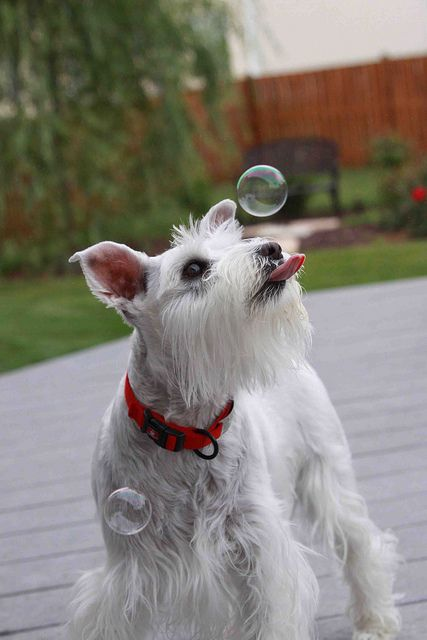 Miniature Schnauzer chasing bubbles! Too cute!