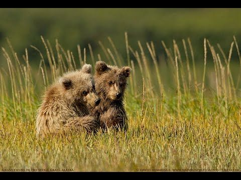 Grizzly Bear Cub Action Natures Photo Adventures