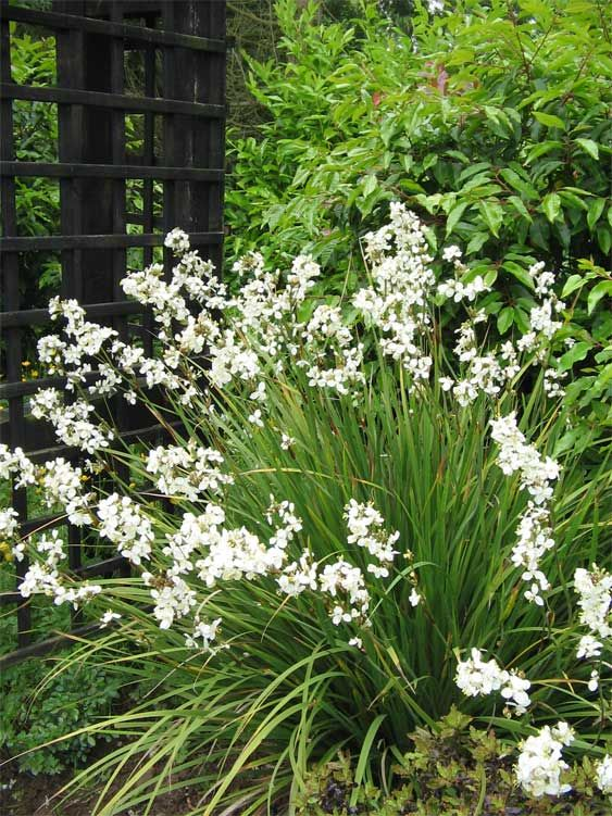 Libertia Grandiflora. Evergreen grassy leaves with wiry stems of small white orchid-like flowers.