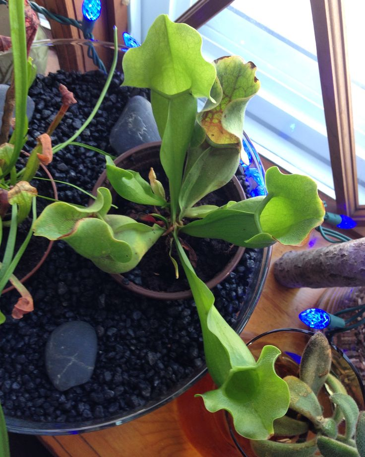 Fun Facts For Kids About Pitcher Plants
