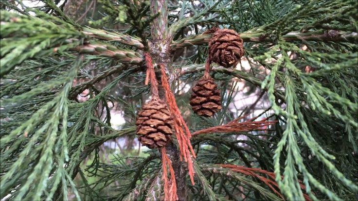 Giant redwood (Sequoiadendron giganteum) - mature female cones - February 2018