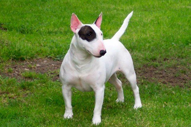 #BullTerrier #Terrier #DogPhotos
