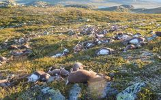 300 wild reindeer have been killed after they were struck by lightning at a nature park in southern Norway