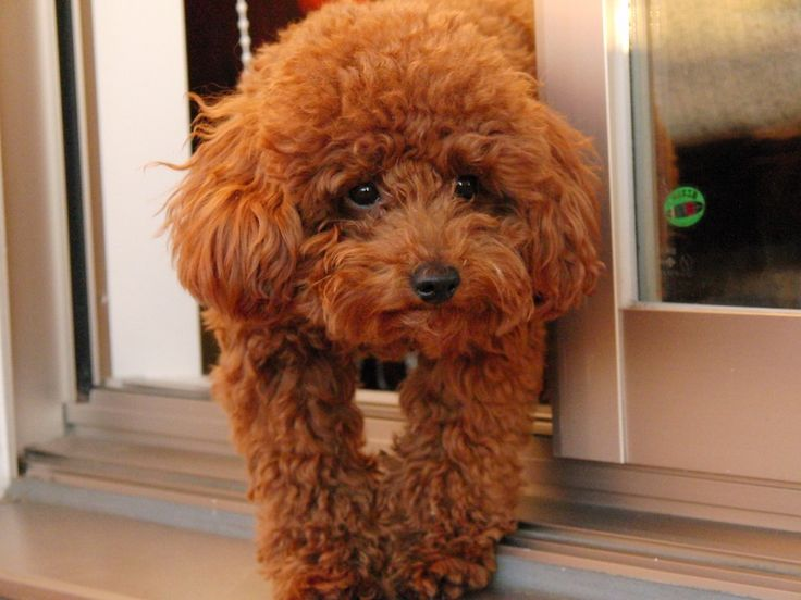 Red Toy Poodle Looks Like Paisley Poodle Poodle