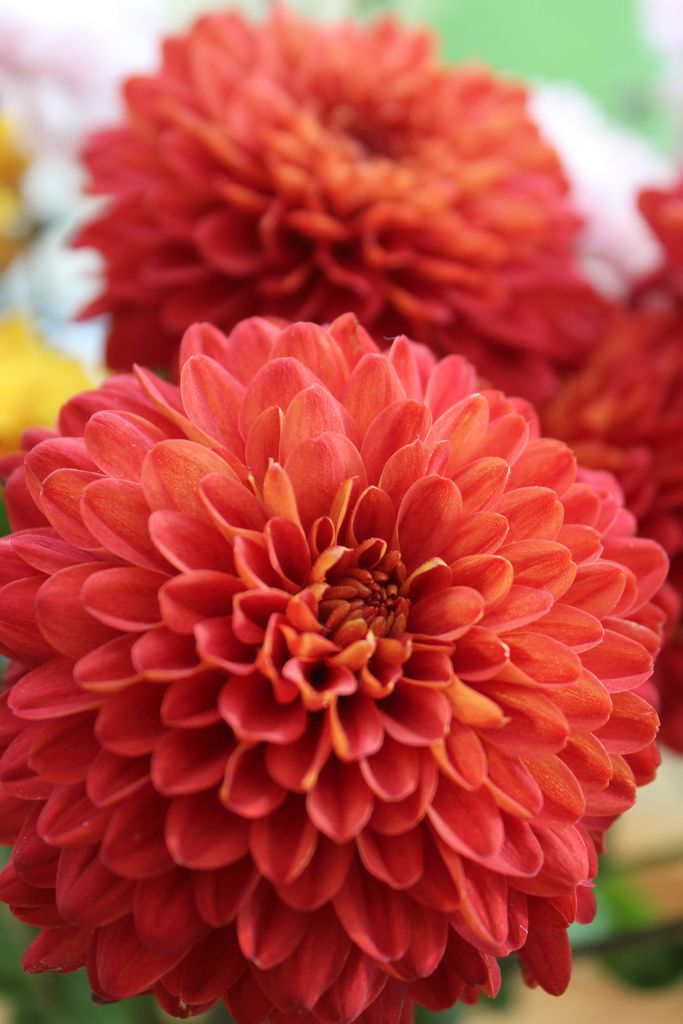 Red chrysanthemums | Flickr - Photo Sharing! #chrysanthemum