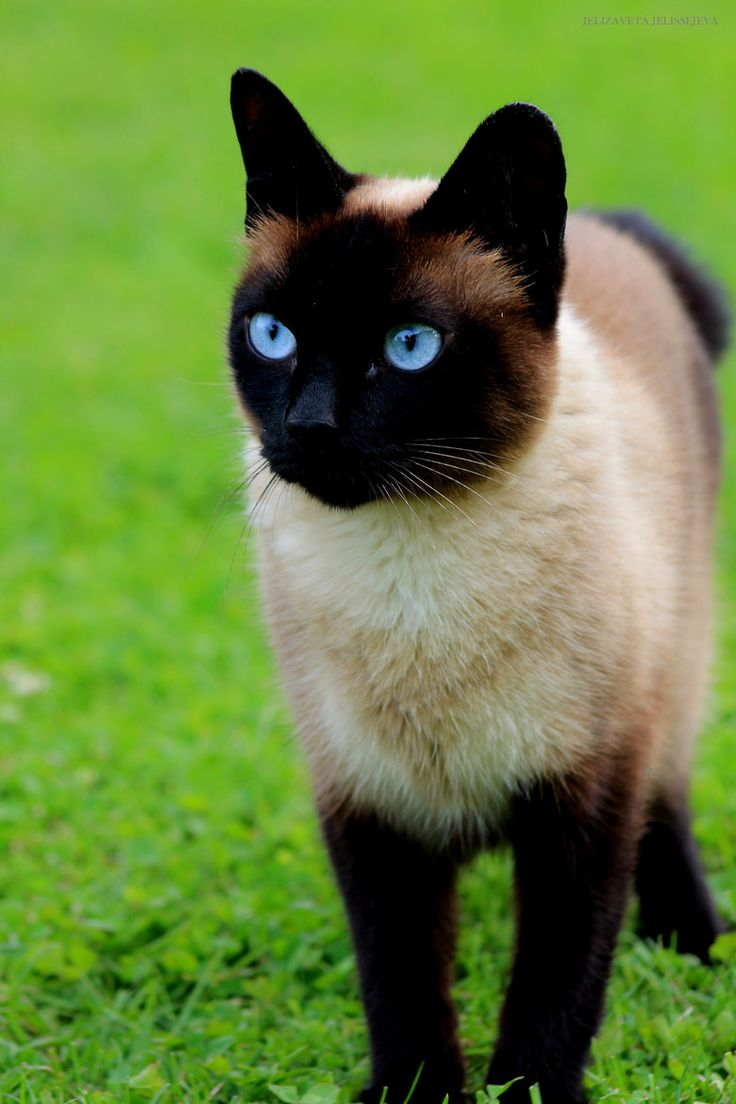 Best 25 Siamese cats ideas on Pinterest