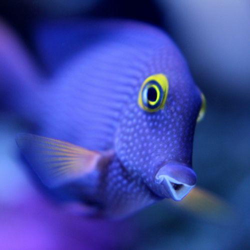 PURPLE TANG (Zebrasoma xanthurum)  The fish grows to a maximum length of 25centimeters (9.8 inches) in the wild but rarely surpasses 20 centimetres (7.9 inches) in captivity.  Zebrasoma xanthurum inhabits the Red Sea, the west coast of India, the east coast of Africa, and the Persian Gulf, where it may live at water depths of 1 to 20metres (3 to 65feet) or more.