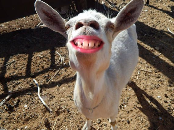 Funny smiling goat smiling animal funny goat pictures! #homefortheholidays