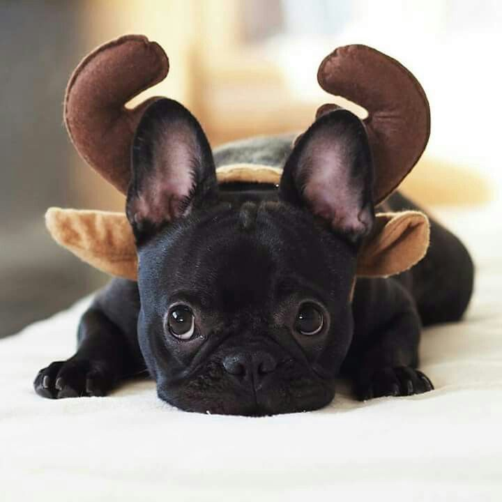This All Black French Bulldog Is Basically Toothless From How To
