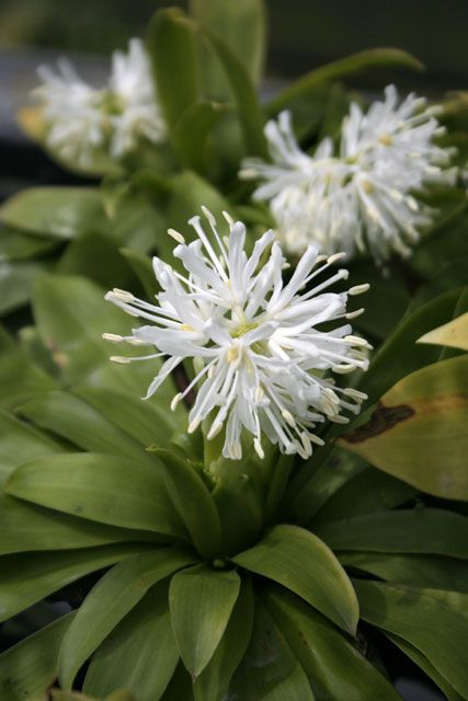 Heloniopsis orientalis var. flavida 'Snow White'