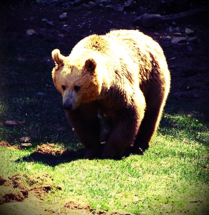 Brown Bear at Parco dell'Orecchiella