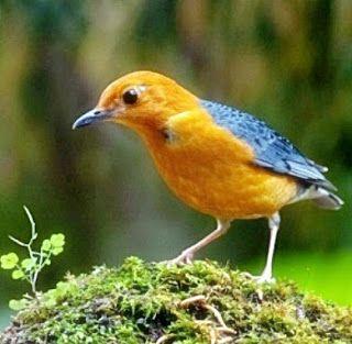 Burung Anis Merah di mencari makan #burung #bird #anismerah #pets #livestock #animals #hewan #photography