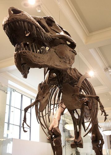 Famous Dinosaur Skeleton at the Museum of Natural History in New York. T rex