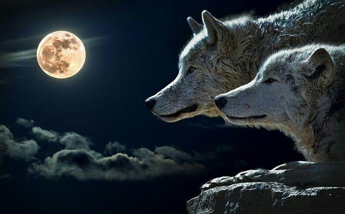 Pareja de lobos :)