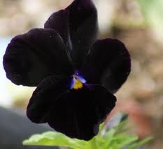 Black pansy: Favorite Flowers, Black Garden, Black Flowers, Beautiful Flowers, Garden Flowers, Pansies, Awesome Flowers, Black Pansy Jpg 960 881