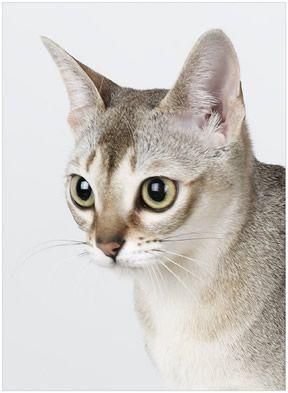 Singapura Cat - Google Search