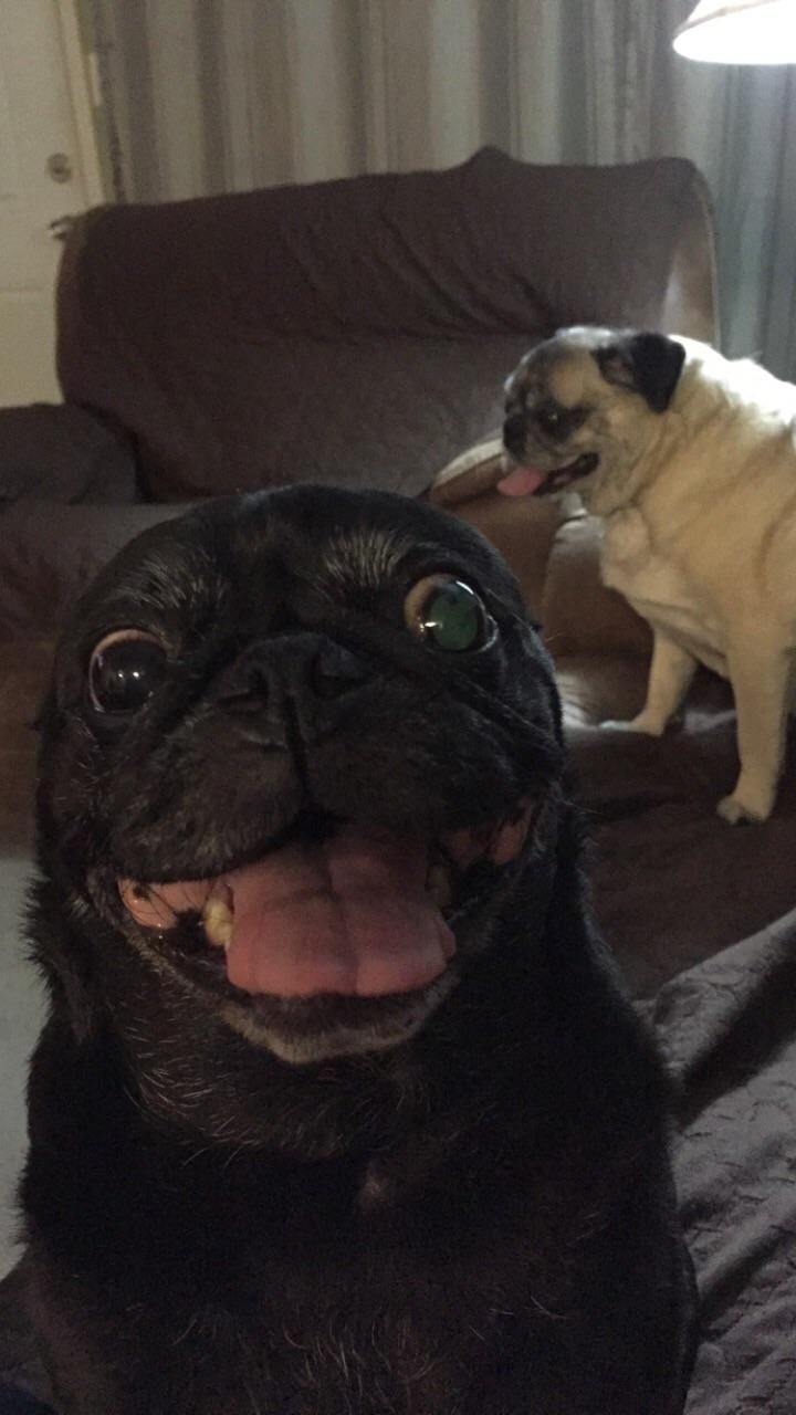Pin By Stephanie Landon On Pugs Pugs And More Pugs Pug Puppies