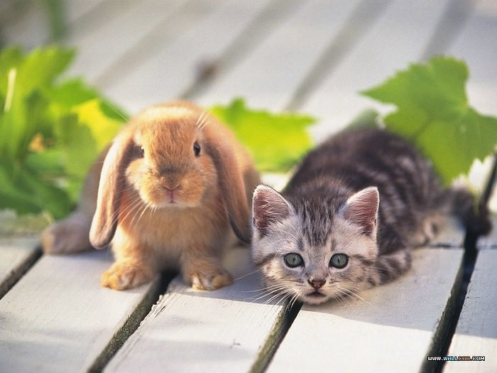 Loveable Little Creatures : Baby Rabbit and Kitty -  Cuddly  Lop Ear Rabbits