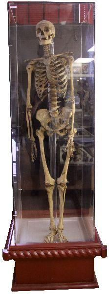 100 best articulate my bones images on pinterest | animal anatomy, Skeleton