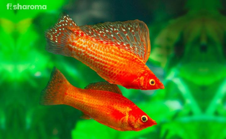 Pin By Not Jenner On Fish In 2020 Molly Fish Beautiful Fish Fish Supplies