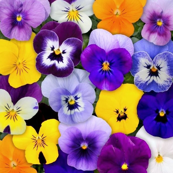 Eliot Raffit Holiday Flowers Mother S Day Holidayflowers Flowers Mothersday Eliotraffit Viola Flower Flower Seeds Annual Flowers
