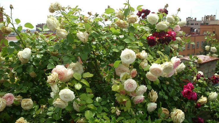 Roses (LaCasaEncendida, Madrid)