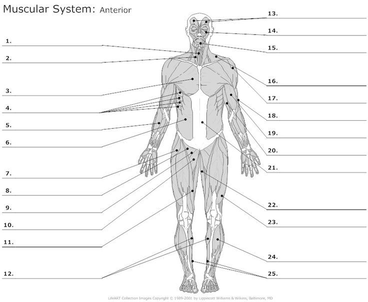 Unlabeled Diagram Of The Muscular System Heather Blog