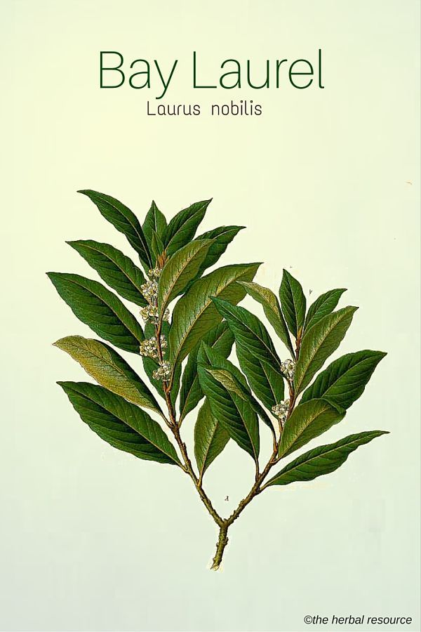 "Laurus nobilis, ""Bay Laurel"". Grows 7-16 ft. Repels insects and is used in cooking. Plant in a pot to keep it smaller?"