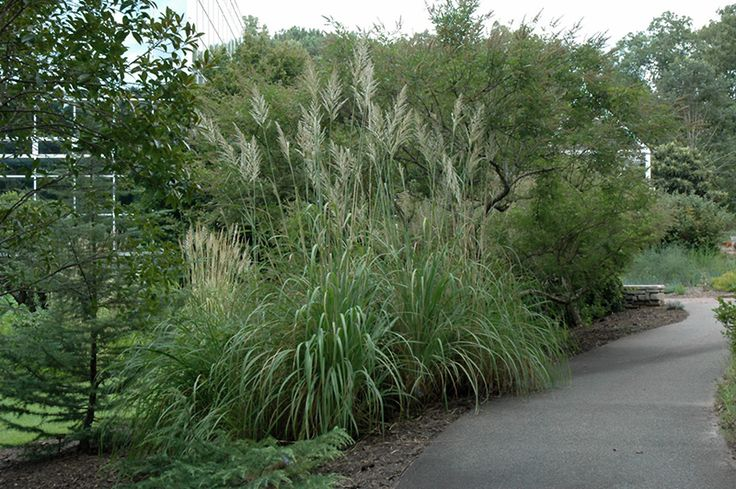 63 Best Pennisetum Images On Pinterest Ornamental