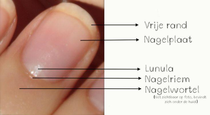 anatomie nagel