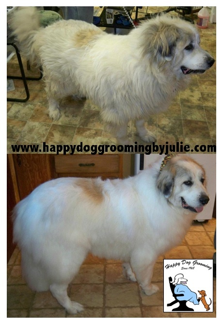 Pin by Happy Dog Grooming on Happy Dog Grooming - Before ... - photo#8