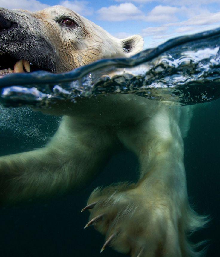 Polar Bear - photo by Paul Souders [750x877]