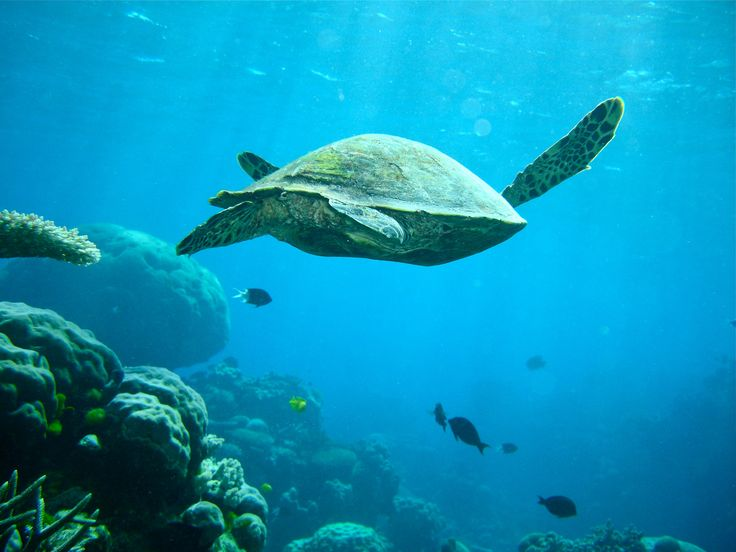 Sea Turtle At The Great Barrier Reef  Photo by gjhamley / CC BY 2.0