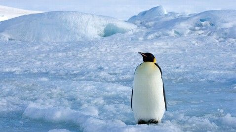Emperor Penguin threatened by global climate change (yeah, the phenomenon idiot Republicans deny exists)