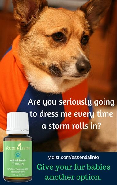 Essential Oils For Dogs Who Hate Thunder T Away Is Part