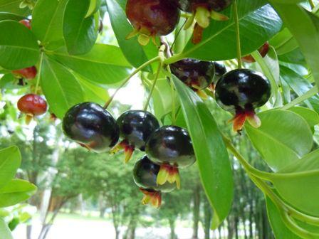frutas - frutífera da mata atlantica - grumixama - foto de Ricardo Cardim - direitos reservados///A cereja da Mata Atlântica//