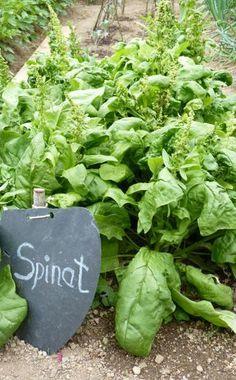 Spinat erfolgreich anbauen -  Frischer Spinat ist gedünstet oder roh als Baby-Leaf-Salat ein echter Genuss. Das gesunde Blattgemüse ist für Garten-Anfänger ideal: Es wächst in jedem Klima und auf jedem Boden, keimt zuverlässig und ist schon nach vier Wochen erntereif.