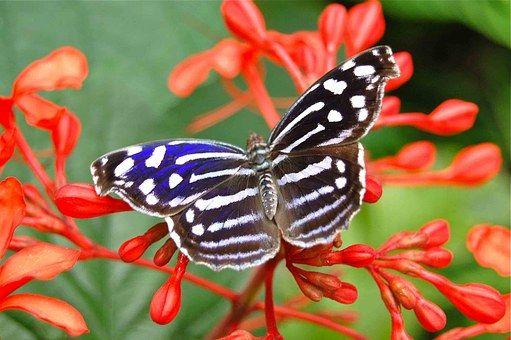 Farfalla, Insetti, Farfalle
