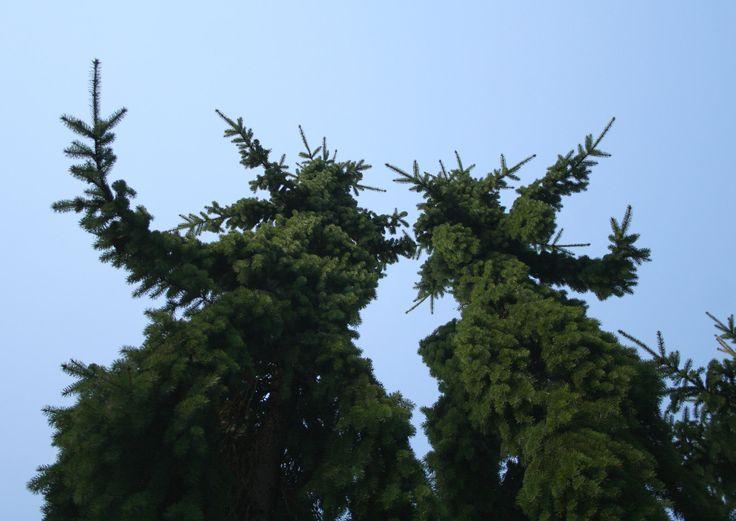 Lepaan miljöö: Surukuuset, jotka ilahduttivat - Lepaa gardens: Picea abies f. pendula