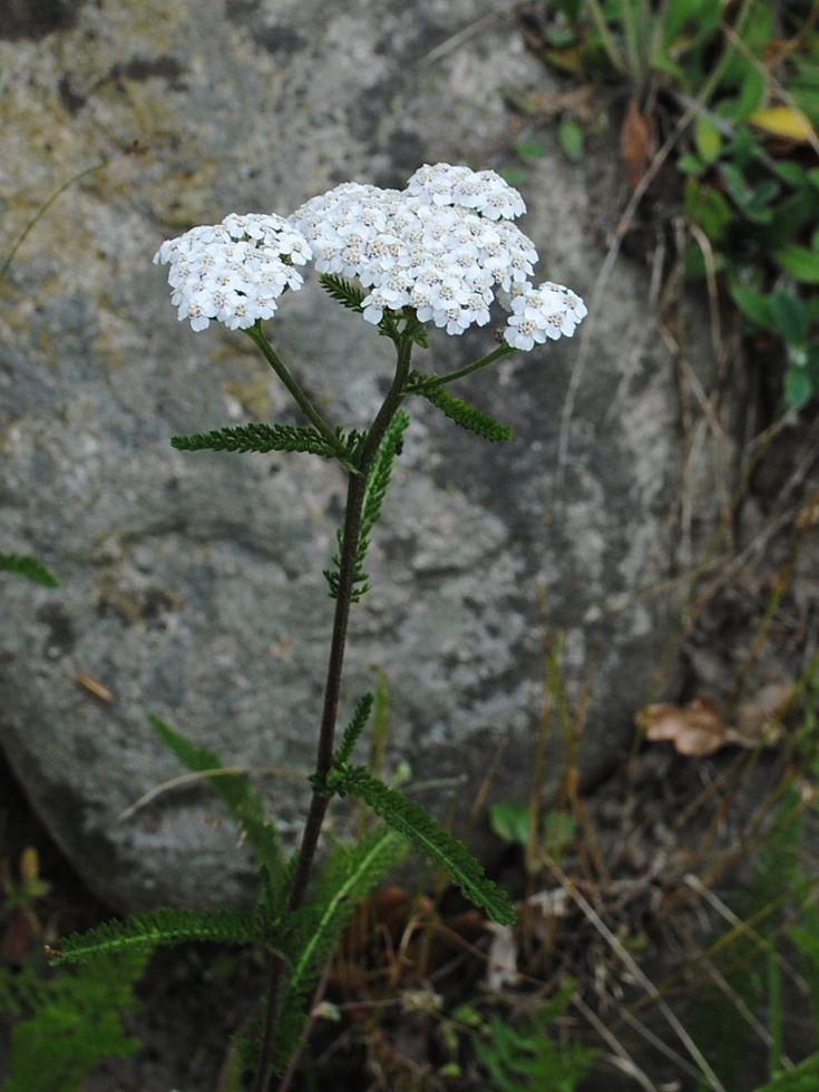 Almindelig Røllike (Achillea millefolium)