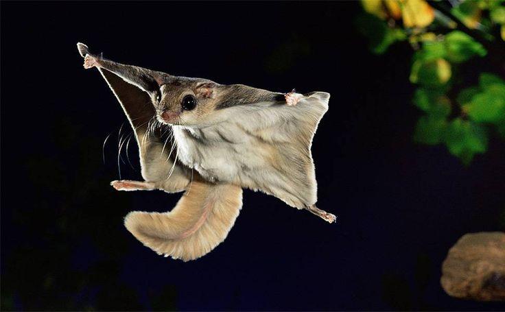 Fotógrafo registra voos noturnos de esquilo de até 45 metros