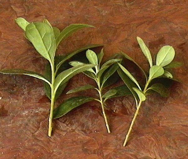 Азалию чаще размножают черенками