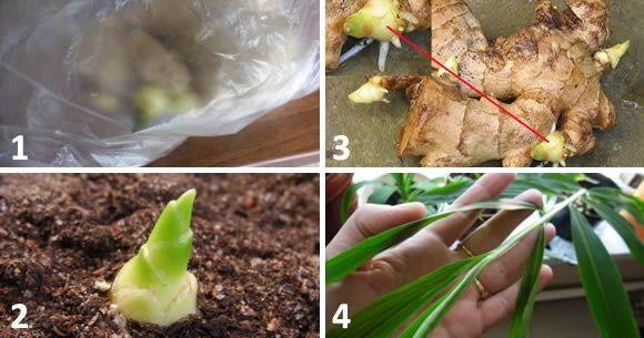 Come coltivare lo Zenzero in vaso